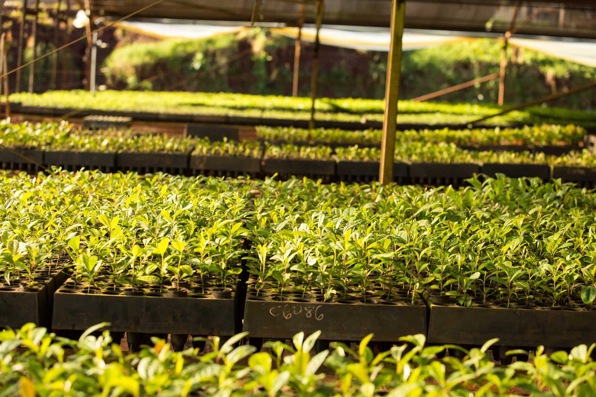 Plantines-reconocidos-por-su-optima-calidad-por-los-productores-de-la-cuenca-yerbatera